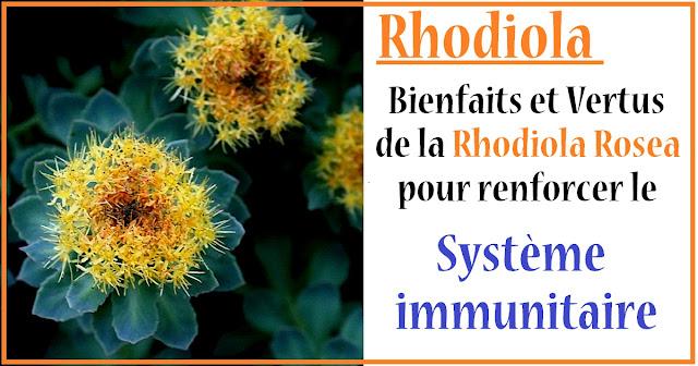 rhodiola-renforce-systeme-immunitaire