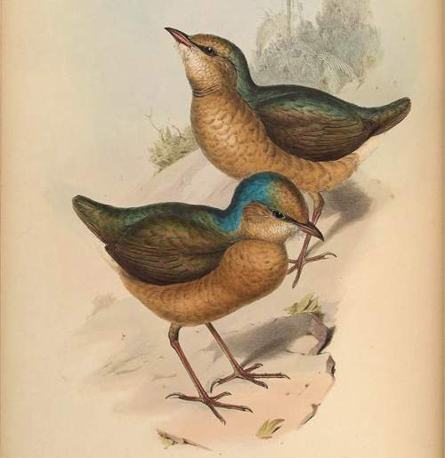 Image of Blue-naped pitta - Hydrornis nipalensis