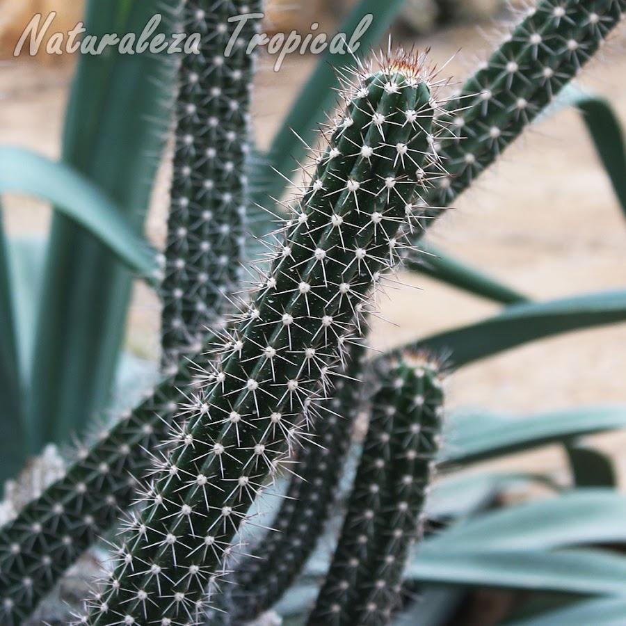 Vista lateral del tallo característico del cactus Stenocereus fimbriatus