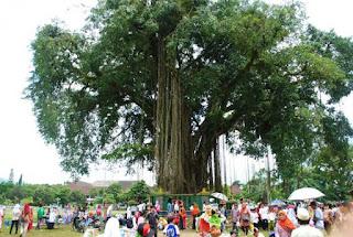 merupakan jenis pohon besar yang rindang yang banyak di temukan di tepi jalan BLOG PAGE ONE GOOGLE | 9 Khasiat Akar dan Daun Beringin Yang Perlu Anda Tahu