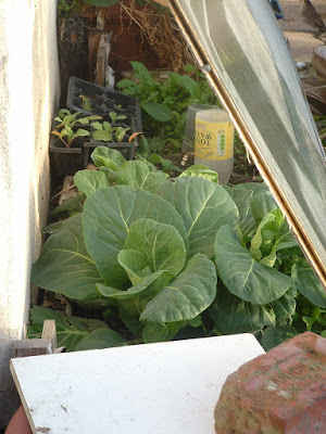 Two big, leafy cabbages growing under glass