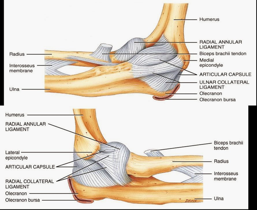 elbow ulna diagram ulna diagram 3d