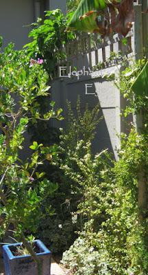 Spekboom hedge on the East Patio with Septemberbossie left