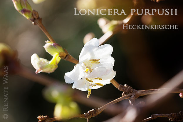 Die duftende Heckenkirsche Lonicera purpusii blüht mitten im Winter - ein zauberhaftes, zartes Gehölze