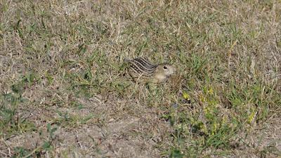 animals, squirrel, Admiral, Saskatchewan, prairie