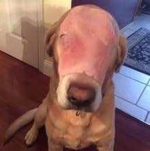 Cão 'doente' com presunto no rosto recebe 1,3 mi de orações