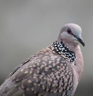 Eastern spotted dove - Spilopelia chinensis