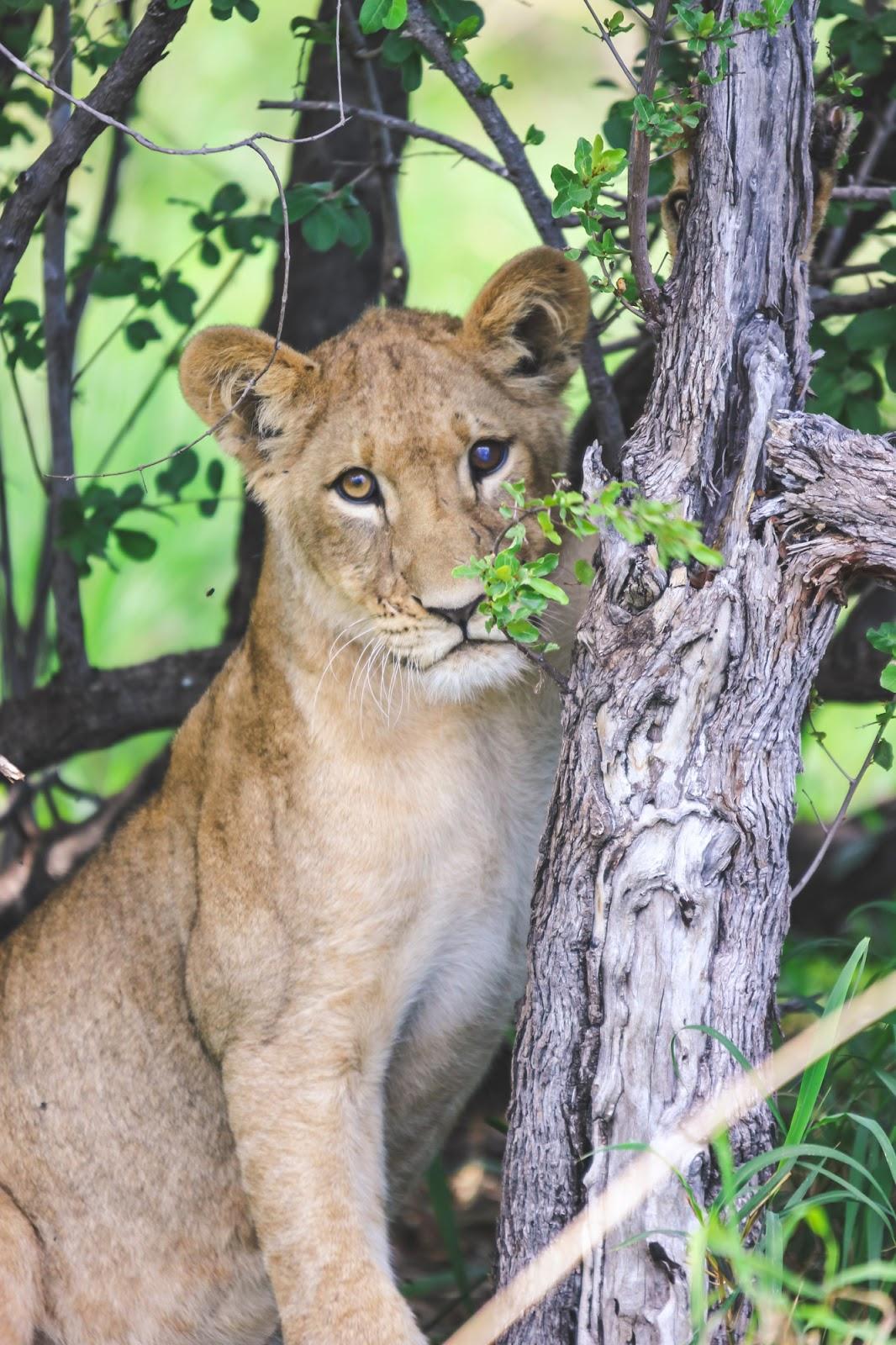 The Lion Prides of Hwange National Park
