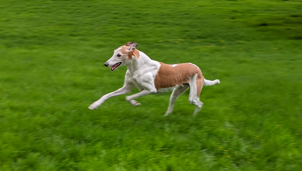 image of Dudley the Greyhound joyfully running through the grass