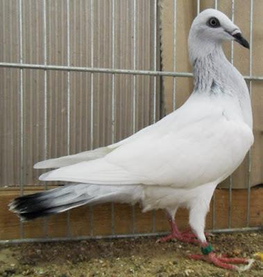 Polnischer Langschnäbeliger Tümmler - tumbler pigeons