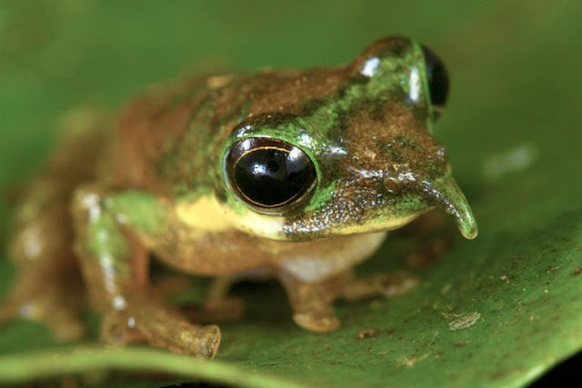 katak pinokio katak langka yang aneh dan lucu