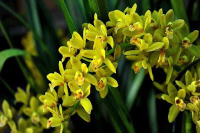 Bunga orkid Cymbidium