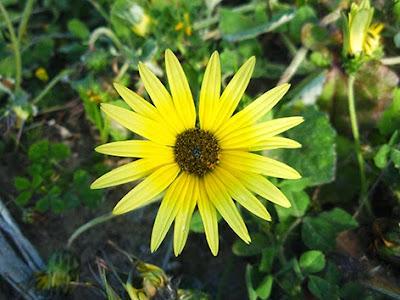 Flor amarilla de Arctotheca calendula