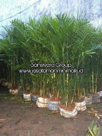 Palem Bambu Komodoria