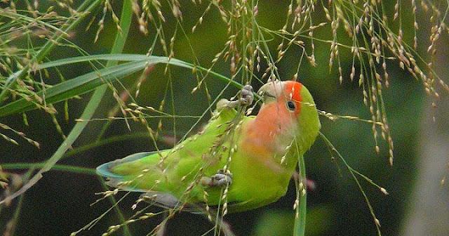 Manfaat Tersembunyi Gabah Untuk Makanan Burung Love Bird