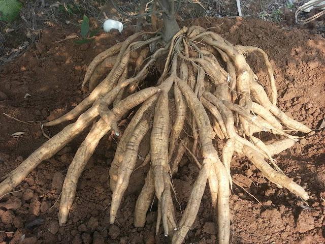 Củ Sắn Dây - Pueraria thomsoni - Nguyên liệu làm thuốc Chữa Cảm Sốt