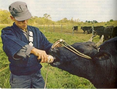 những con bò được chăm sóc hơn cả người