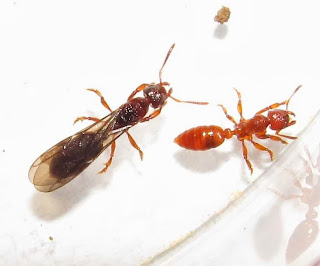 Female alate and worker of Centromyrmex feae