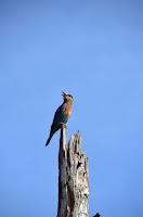 Eichelhäher - jaybird