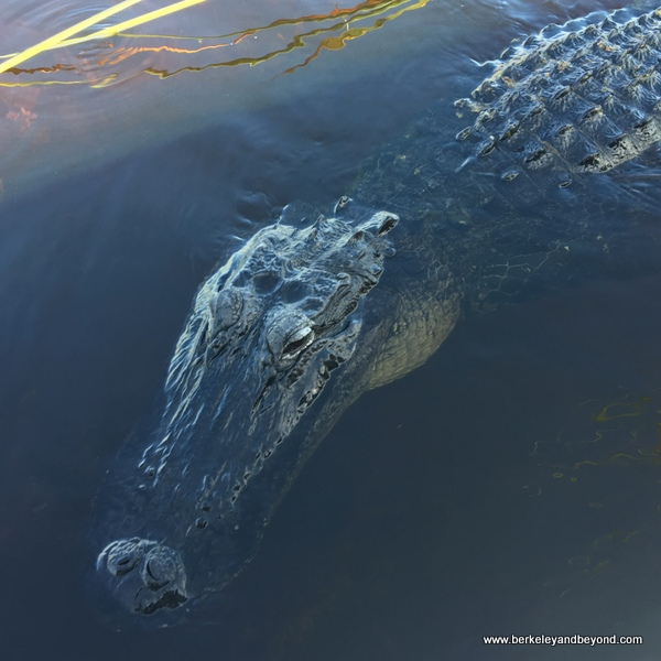alligator at Sawgrass Recreation Park in Weston, Florida