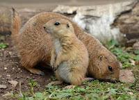 MARMOTAS - Esses mamíferos hibernam em suas tocas por até 7 meses.  Quando despertam da hibernação, que pode durar até sete meses, a sua principal preocupação é alimentar-se para recuperar as energias perdidas. São herbívoras, atentas a predares, velozes e muito sociáveis