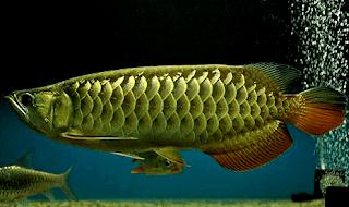 Gambar ikan Arwana Papua