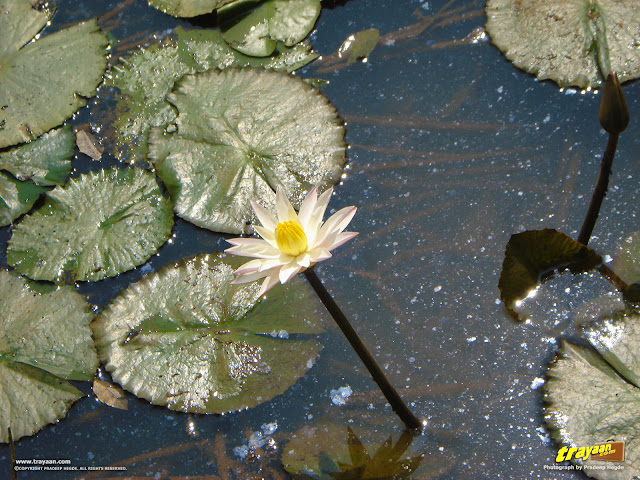 Here's a closer look at the beautiful white water lily