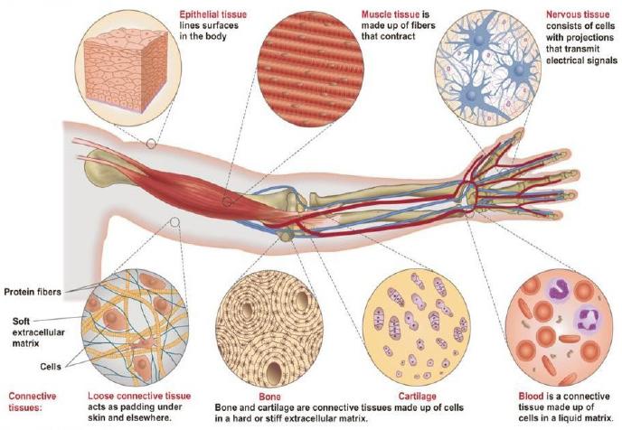 Struktur Dan Fungsi Jaringan Hewan Generasi Biologi