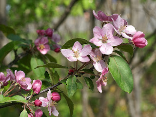 Fleur de Pommier - Malus domestica