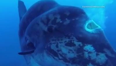 Ο ΓΙΓΑΝΤΑΣ ΤΩΝ ΘΑΛΑΣΣΩΝ. Αυτό είναι το μεγαλύτερο ψάρι του κόσμου ... 0cc6fc2eb7d
