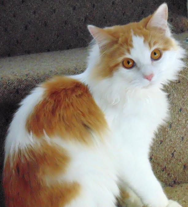 Fur Everywhere: Feline Infectious Peritonitis (FIP): A Guest Post by