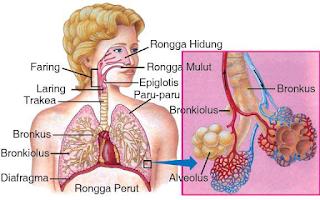 SISTEM PERNAPASAN (RESPIRASI) PADA MANUSIA : ORGAN PERNAPASAN, MEKANISME PROSES PERNAPASAN, PROSES PERTUKARAN OKSIGEN DENGAN KARBON DIOKSIDA SERTA VOLUME UDARA PERNAPASAN