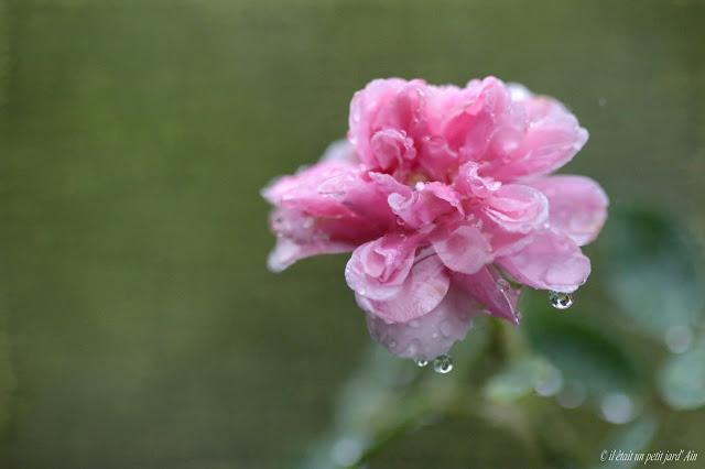 rosier grimpant remontant à petite fleurs groupées