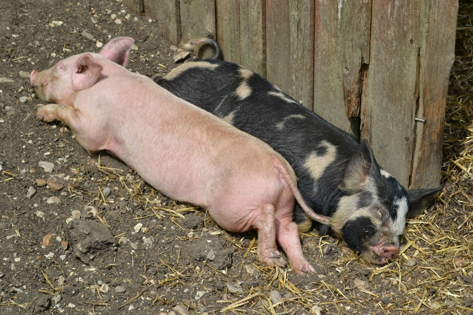 Two pigs at Longdown Activity Farm