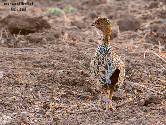 Painted Francolin | Escape into the wild
