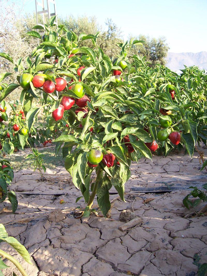 Reparaci n calderas en madrid como plantar pimientos for Plantar pimientos y tomates