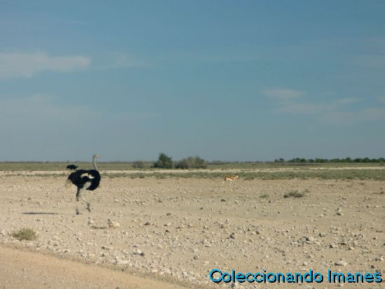 Etosha Animales Namibia Safari Avestruz