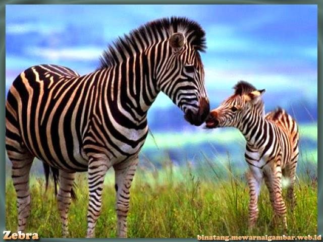 gambar zebra di padang rumput