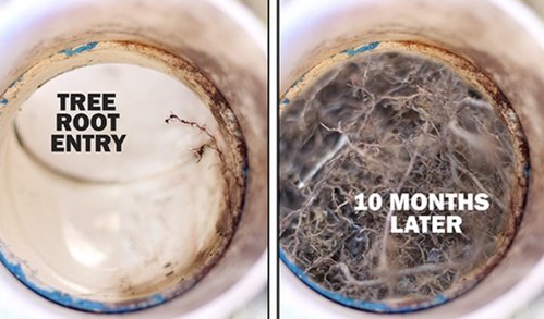 "A side by side photo shows two cutaway views of a sewer pipe. On the left, a single root hair invades the pipe. On the left, captioned ""10 months later"" the pipe is filled with root hairs, blocking it."