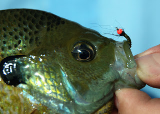 bluegill taken on a chironomid fly pattern