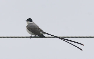 Forl-tailed Flycatcher seen while birding in newfoundland