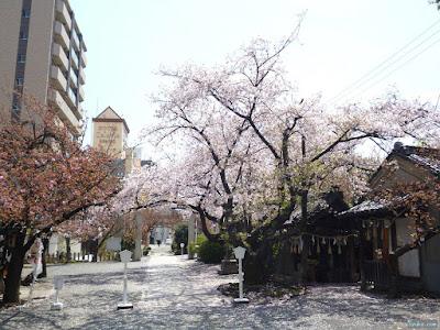 櫻宮神社の桜