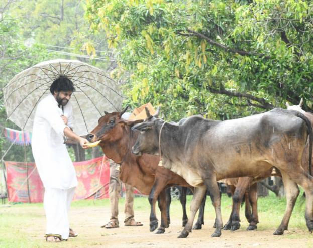 pawan-kalyan-feeding-cows