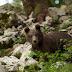 Egyre több medve kóborolhat át Magyarországra