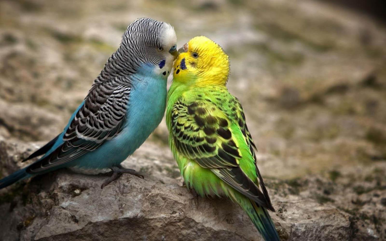 Gambar Burung Burung Yang Berpasangan Wallpapersforfree