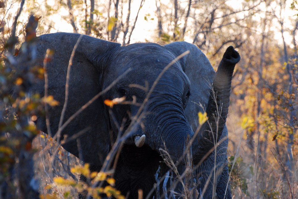 éléphant d'Afrique-Loxodonta africana