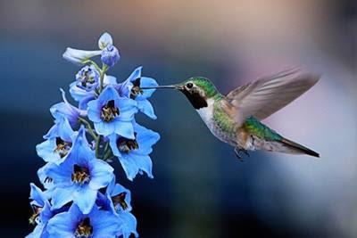 suara burung kolibri