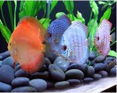 Profil Ikan Hias Diskus indah