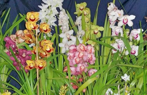 Cymbidium orkidesi