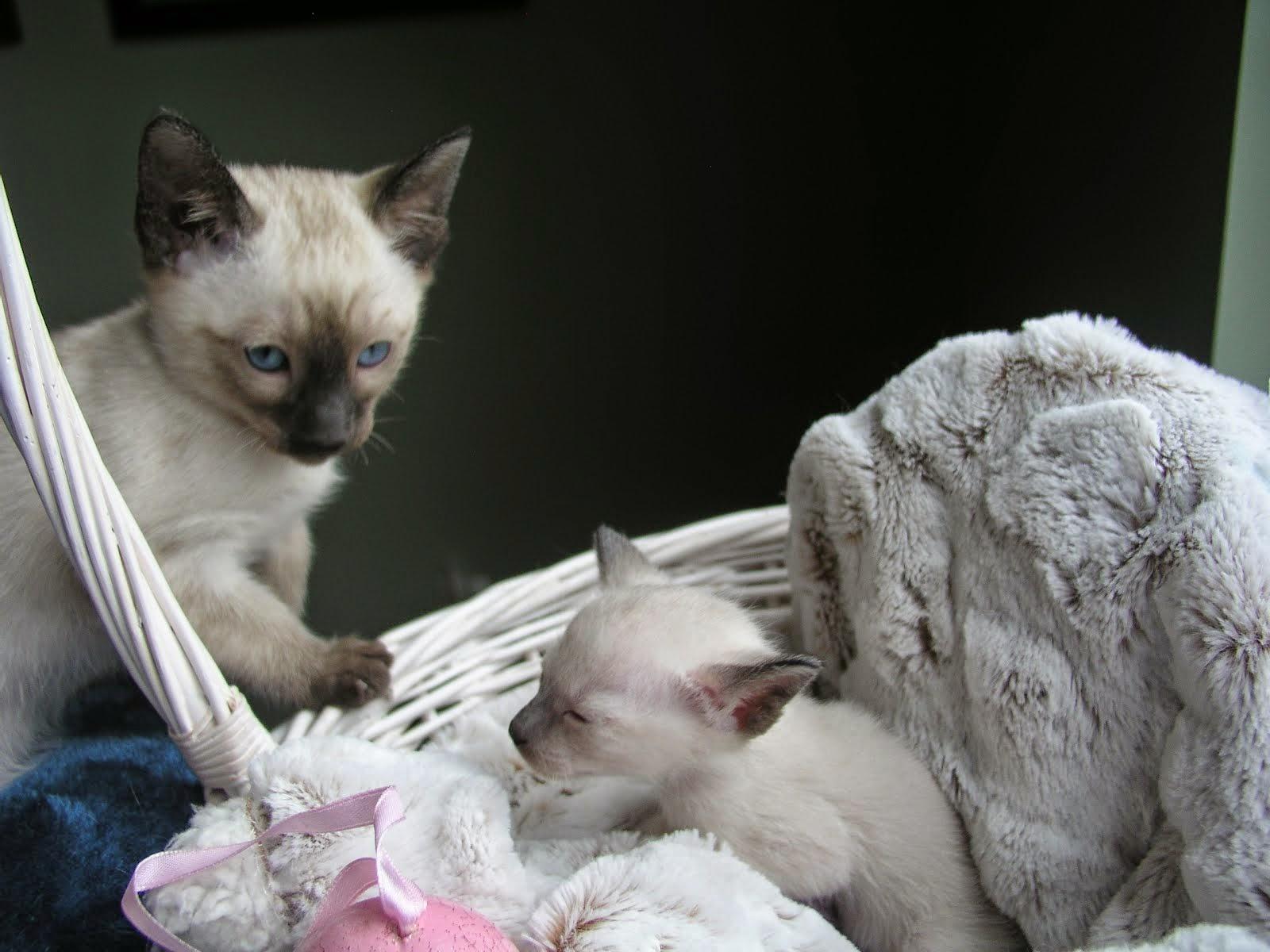 Carolina Blues Cattery Siamese Kittens for Sale: Siamese Kittens ...